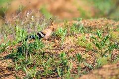 Allgemeiner Hoopoe oder Upupa epops in der Steppe Lizenzfreies Stockfoto