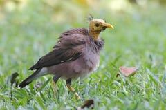 Allgemeiner Myna Acridotheres-tristis Vogelkahlkopf Lizenzfreies Stockfoto