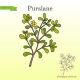 Allgemeiner Purslane Portulaca-oleracea oder verdolaga, Pigweed vektor abbildung