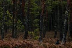 Allgemeiner Rabe im dunklen Wald Stockfotos