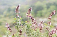 Allgemeiner Salbei (Salvia-officinalis) Stockbilder