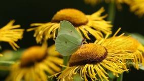 Allgemeiner Schwefel des Schmetterlinges (Gonepteryx-rhamni) sitzt auf einer Blume des echten Alants stock video
