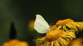 Allgemeiner Schwefel des Schmetterlinges (Gonepteryx-rhamni) sitzt auf einer Blume des echten Alants stock video footage