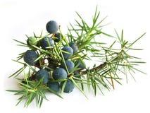 Allgemeiner Wacholderbusch (Juniperus communis) stockfotografie