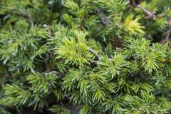 Allgemeiner Wacholderbusch, Juniperus communis Subsp alpina Stockbilder