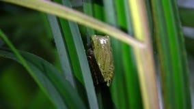 Allgemeines Baum-Frosch Polypedates leucomystax, das auf Blatt sitzt Nachtdschungel-Safari im Regenwald von Malaysia stock video
