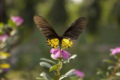 Allgemeines Birdwing, Troides SP, Papilionidae, Gumti, Tripura stockfotos