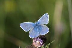 Allgemeines Blau, Polyommatus Ikarus Stockfoto