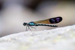 Allgemeines blaues Juwel Rhinocypha-perforata perforata stockfotografie