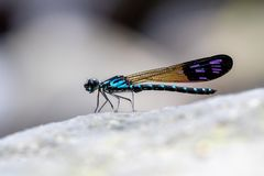 Allgemeines blaues Juwel Rhinocypha-perforata perforata stockfotos