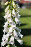 Allgemeines Digitlis-purpurea mit weißen Blumen Lizenzfreies Stockfoto