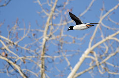 Allgemeines Goldeneye-Fliegen hinter den unfruchtbaren Winter-Bäumen Stockfotografie