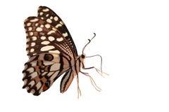 Allgemeines Kalk Schmetterlingsmakro lizenzfreie stockbilder
