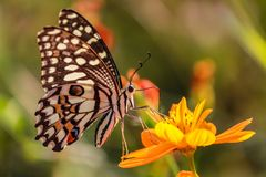 Allgemeines Kalk Schmetterlingsmakro lizenzfreies stockbild