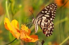 Allgemeines Kalk Schmetterlingsmakro stockfoto