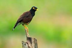Allgemeines Myna, Acridotheres tristis melanostermus, Vogel von Sri Lanka Tier im Naturlebensraum, Asien Vogel, der auf der Kleie Lizenzfreie Stockfotografie