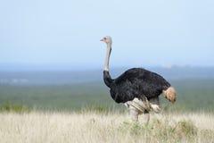 Allgemeines Ostridge, Addo Elephant National Park Lizenzfreie Stockfotografie
