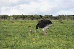 Allgemeines Ostridge, Addo Elephant National Park, Ostkap, Sout Lizenzfreie Stockfotos