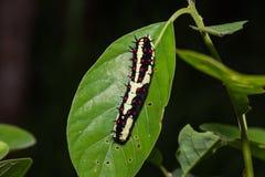 Allgemeines Pantomime-Papilio-clytia Gleiskettenfahrzeug lizenzfreies stockbild
