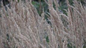 Allgemeines REEDblume, die im Wind, Reedeinfluß im Wind, Reedfeld im Sommer durchbrennt stock video