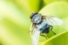 Allgemeines Stubenfliegen-Makro Lizenzfreies Stockbild