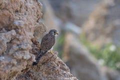 Allgemeines Turmfalke-Falco-tinnunculus, das auf dem Felsen sitzt Stockbilder