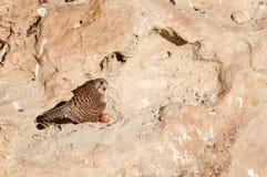 Allgemeines Turmfalke Falco-tinnunculus sitzt auf seinem Nest im Felsen Stockfotos