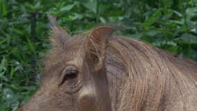 Allgemeines Warzenschwein im Schlamm - KLIPP 3 - Nahaufnahme des Ohrs und des Auges
