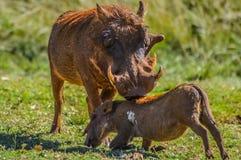 Allgemeines Warzenschwein oder Pumba, die in einer s?dafrikanischen Spielreserve aufeinander einwirken und spielen stockbilder