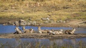 Allgemeines Waterbuck in Nationalpark Kruger, Südafrika Lizenzfreie Stockfotos