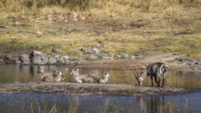 Allgemeines Waterbuck in Nationalpark Kruger, Südafrika Stockfoto