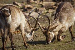 Allgemeines Waterbuck in Nationalpark Kruger, Südafrika lizenzfreie stockbilder