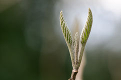 Allgemeines whitebeam (Sorbusarie agg ) Kommen in Blatt Stockbild