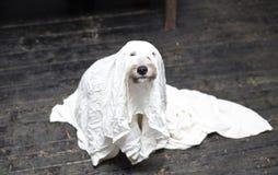 Allhelgonaaftonhund arkivfoton