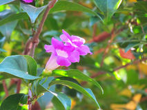 Alliacea di Mansoa o vite dell'aglio che fiorisce sull'albero Immagini Stock