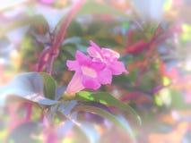 Alliacea di Mansoa o vite dell'aglio che fiorisce sull'albero Immagine Stock Libera da Diritti