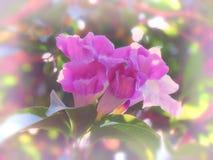 Alliacea di Mansoa o vite dell'aglio che fiorisce sull'albero, sul fiore dolce di colore nella morbidezza e sullo stile della sfu Fotografie Stock