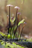 Alliaceus del Marasmius Fotografia Stock