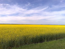 Alliance do campo e do céu de florescência fotografia de stock