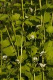 Alliaria petiolata Royalty Free Stock Photo