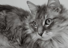 Allie Cat Black and White. Black and white photo of long haired cat Royalty Free Stock Photography