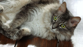 Allie Katze auf Tabelle Lizenzfreies Stockfoto