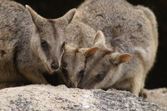 Allied rock-wallabies Stock Images