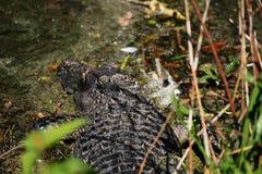 Alligaor no pântano Fotos de Stock