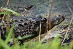 Alligaor no pântano Imagem de Stock Royalty Free