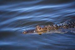 Alligaor que simming na água azul Imagens de Stock Royalty Free