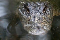 Alligato che fissa, grande Cypress Nati Fotografie Stock