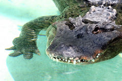 Alligator Stock Photos