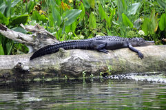 Alligator Royalty Free Stock Photography