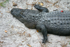 Alligator. From the Okefenokee swamp Royalty Free Stock Photography